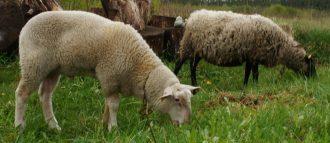 Стригальная машинка для овец и ручная стрижка что лучше