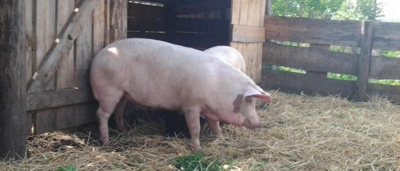 Как построить свинарник в домашних условиях