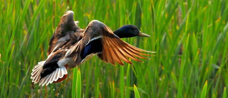 Домашняя голубая утка что за порода