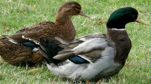 Сколько живут гуси, в каком возрасте начинают нестись, яйценскость