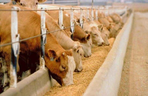 за день одна особь способна употребить в пищу до 100 кг свежей травы и дать около 25 л молока