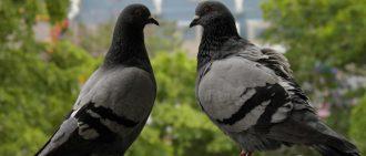 Что едят голуби: правила кормления, что можно есть