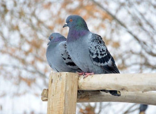 Даже неопытные птицеводы способны заняться разведением домашних голубей