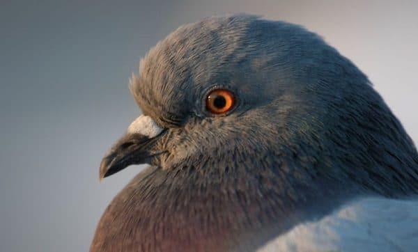 Для воспроизводства здорового потомства подходят птицы возрастом не старше 10 лет
