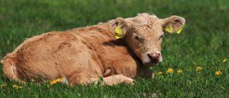 Профилактика и лечение пареза у коров