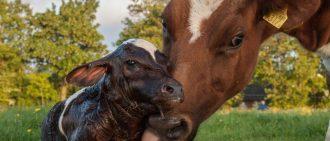 Как вылечить понос у теленка