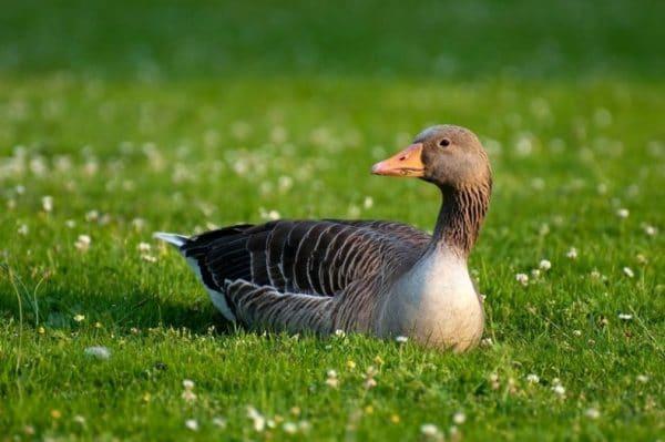 Взрослые птицы обладают великолепным иммунитетом, устойчивы к болезням
