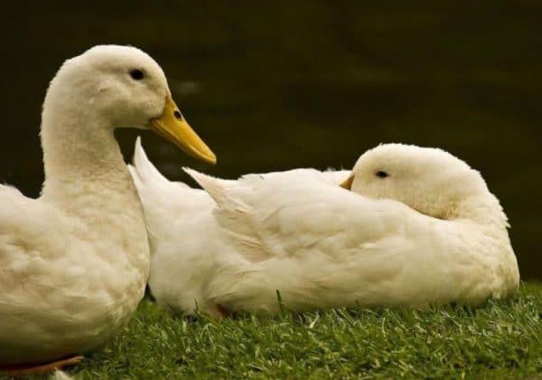 Основу рациона одомашненных птиц составляют промышленные корма или пища, приготовленная своими руками