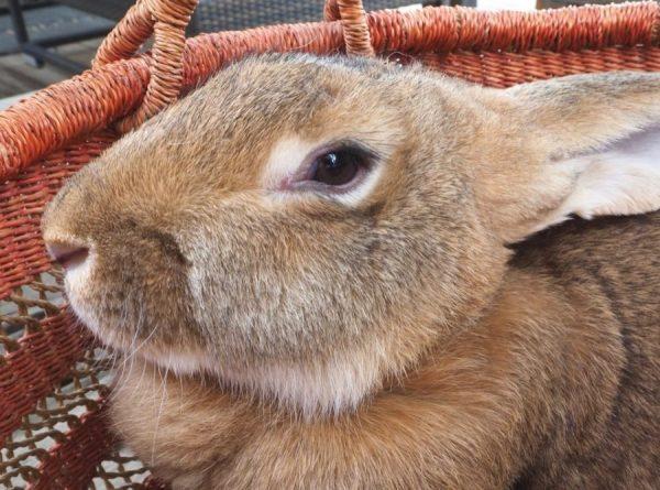 Сколько дней ходит беременная крольчиха, вынашивая крольчат