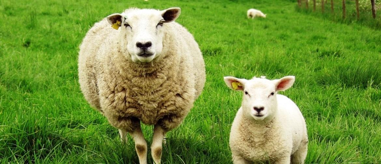 Сараджинская порода овец характеристика