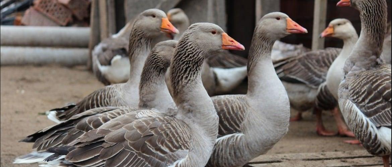 Поведение гусей