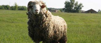 Разведение овец на шерсть