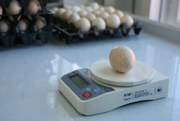 За год с одной индюшки несушки можно получить до 100 яиц