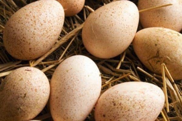 За сезон можно получить 50-75 яичек