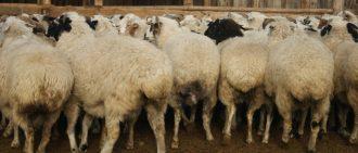 Окот овец романовской породы