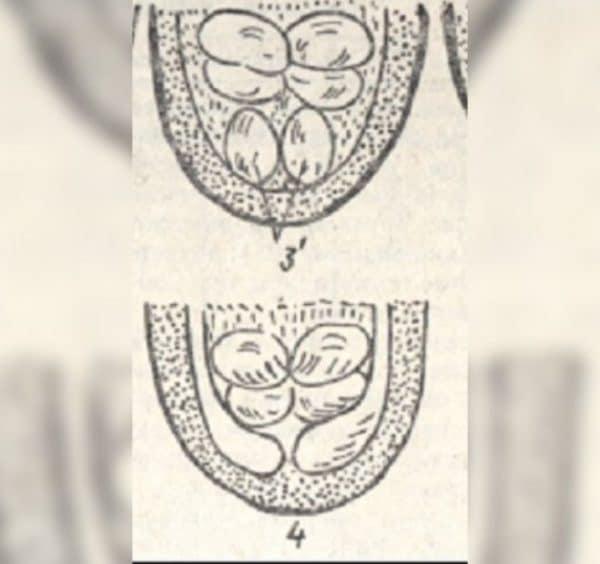 Гениталии суточных индюков. №3 — самец, № 4 -индюшка