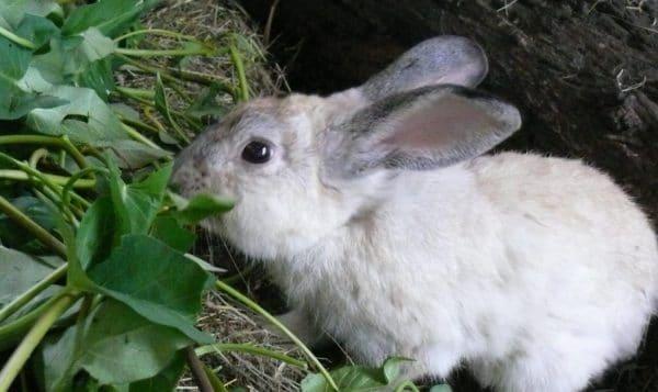 Кролики охотно поедают дикорастущее разнотравье