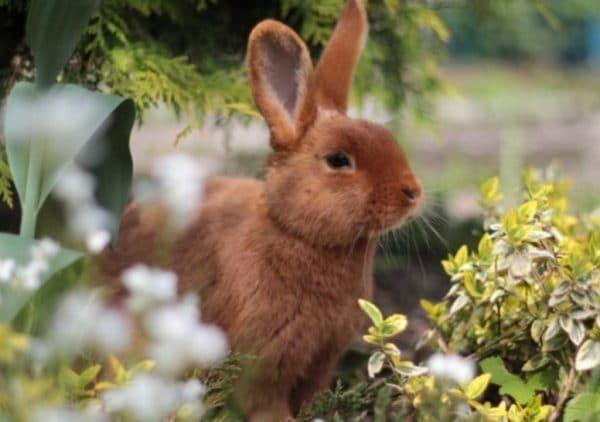 Для улучшения качества шкурки кроликам дают зимой ячмень, а летом кормят капустой.
