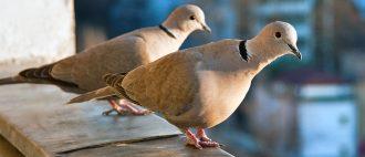Какие крупы едят голуби
