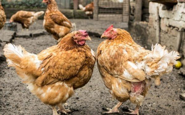 Внешние паразиты у кур
