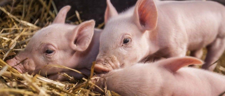 Кастрация поросят и свиней: описание, возраст, способы