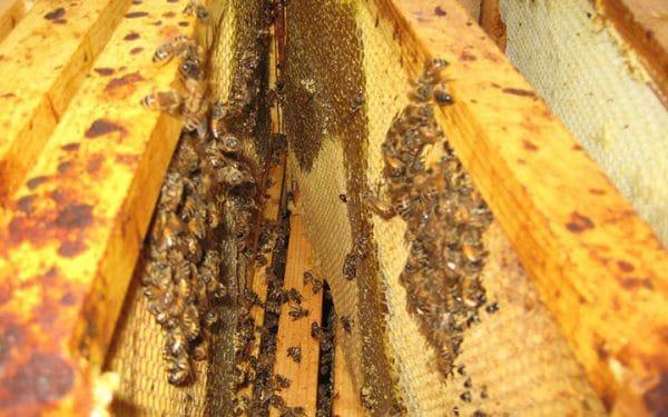 Как распознать нозематоз у пчел: характеристика болезни