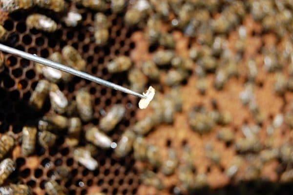 Аскосфероз пчел: причины и особенности заболевания