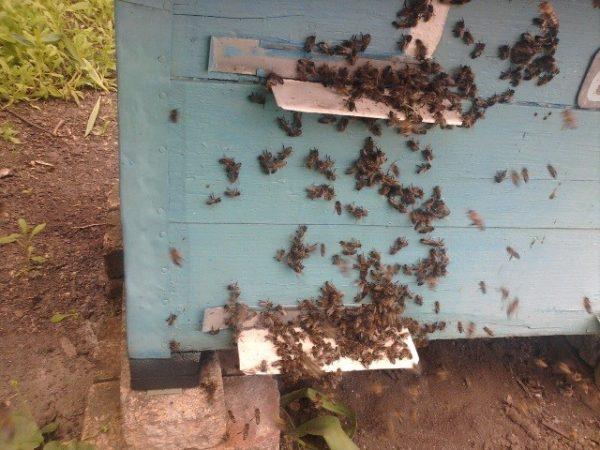 Как определить, что пчелы воруют