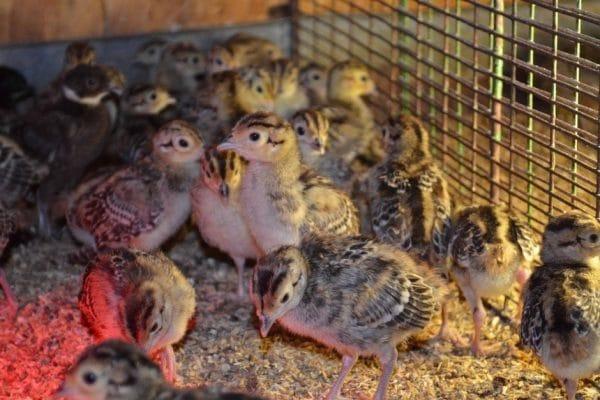 С чего начать выращивание домашнего фазана