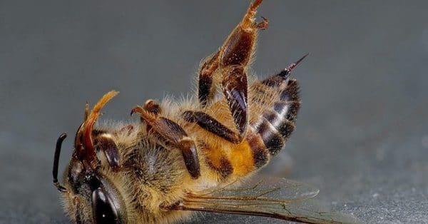 Сколько живет пчела после укуса?