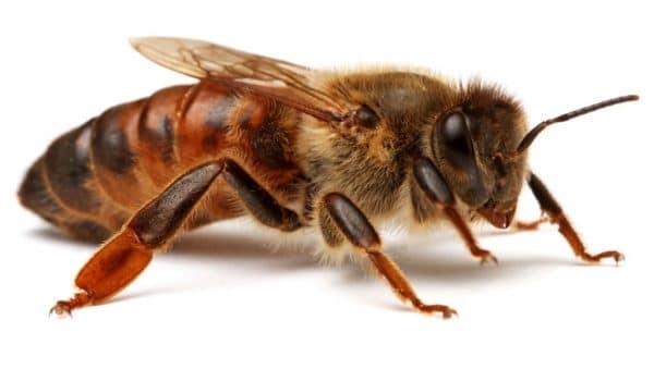 Сколько пчел может жить в улье?