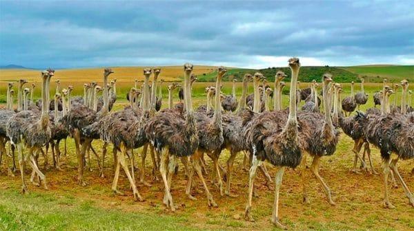 Выращивание и разведение страусов: с чего начать, какую породу выбрать?