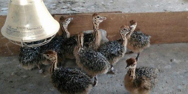 Уход и содержание страусов в домашних условиях