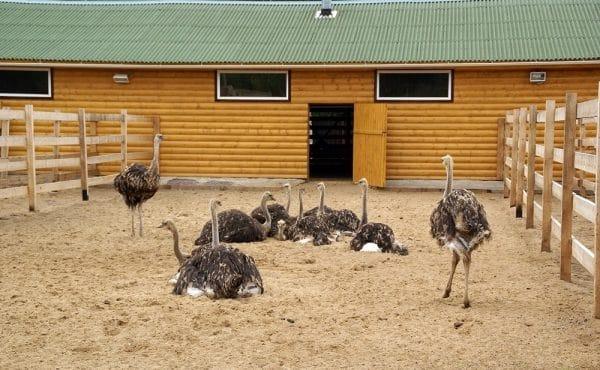 Особенности репродуктивной системы страусов