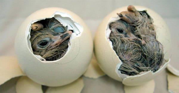 Сколько весит страусиное яйцо, размеры