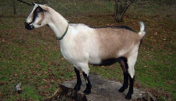 Альпийская коза — описание и общая характеристика