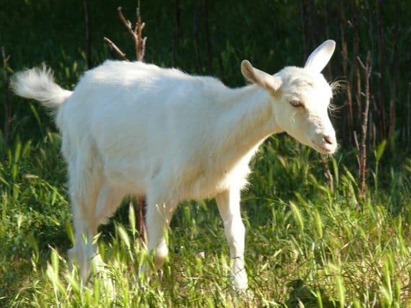 Особенности содержания и кормления зааненской породы коз