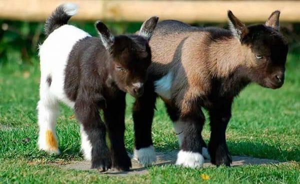 Камерунские козы: описание породы