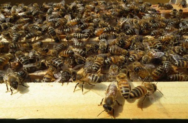 Особенности разведения и содержания пчел бакфаст