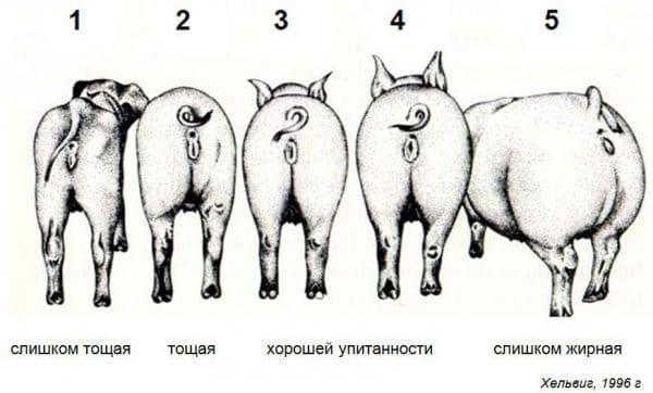 Средняя масса свиньи в разном возрасте