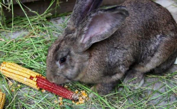 Можно ли давать кролику кукурузу?
