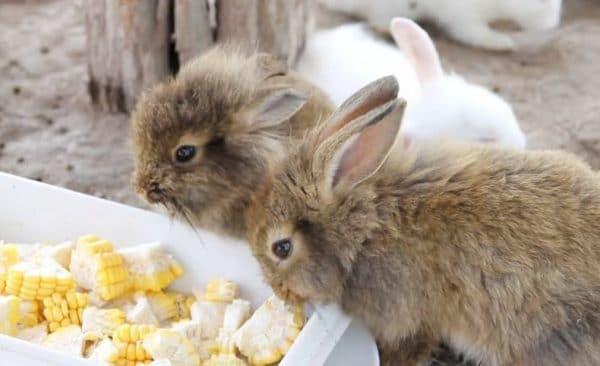 Можно ли кроликам кукурузные початки?