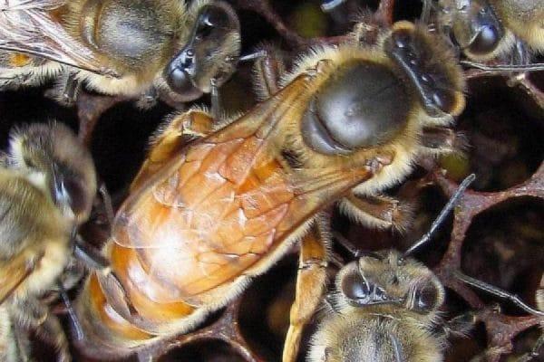 Как выглядит пчелиная матка: описание, этапы развития, когда необходима замена