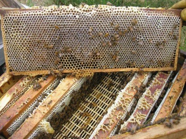 Когда пчеломатку пора менять