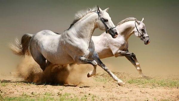 Скорость бега верховых лошадей