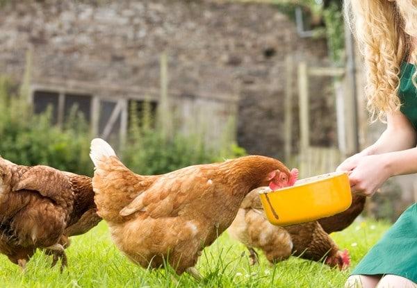 Как кормить кур, чтобы много неслись