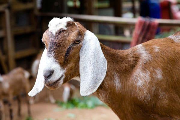 Англо-нубийская порода коз: общая характеристика и описание