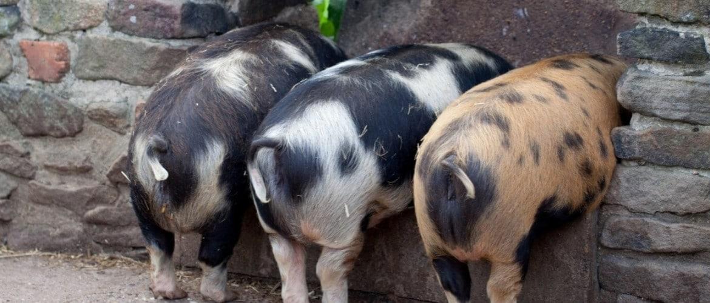 Как узнать вес свиньи без весов таблица — MOREREMONTA