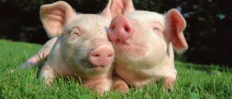 Что за болезнь рожа у свиней