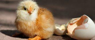 Сколько дней курица высиживает яйца до появления цыпленка, как посадить